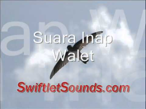 Swiftlet Sounds - Suara Inap Walet Internal