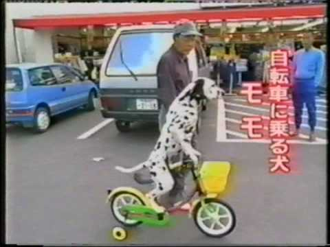 Dalmation riding a bike