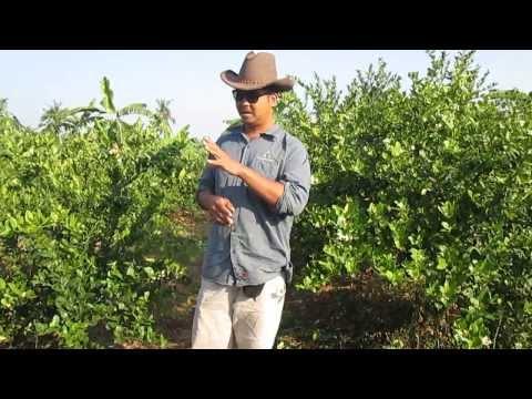 มะนาวนอกฤดู Season 3.4 ดอกมะนาวที่ได้จากการทำนอกฤดู 3
