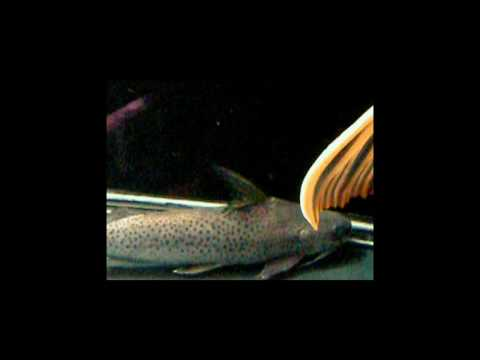 銀豹鴨嘴Platynematichthys Notatus.Part 1