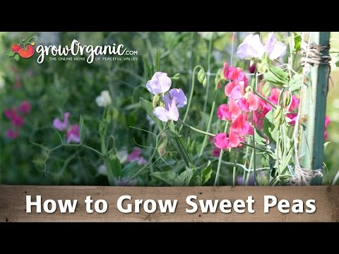 How To Grow Sweet Peas