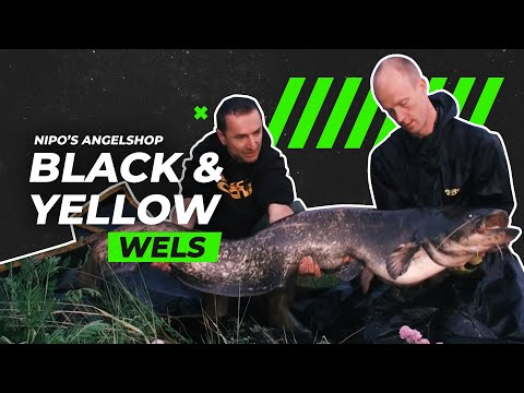 Black & Yellow - Waller am Fluss mit Nipos Angelshop