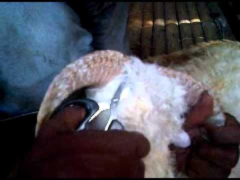 pencukuran tanduk di peternakan  saung domba international.3GP