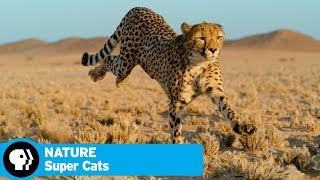 NATURE | Super Cats | Episode 1: Extreme Lives | Preview | PBS - PBS