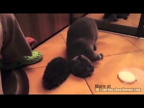 Cheezburger : Cat Uses Hedgehog for Brush
