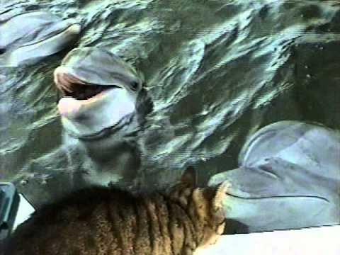 Дельфины играют с котом