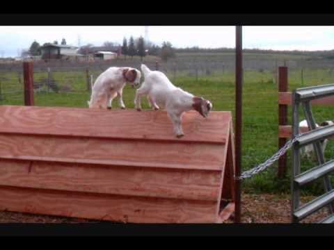 Low cost baby goat shelter and play toy