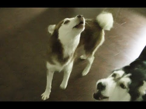 "Laika are you stupid? ""NOOOOOOOOOO!"" - Husky Dog Talking"