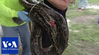 Florida python hunters celebrate 1,000th capture - VOAVIDEO