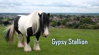 Royalty FreeBackground:Gypsy Stallion