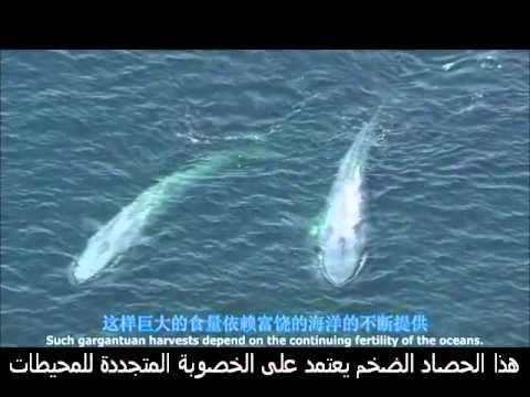 الحوت الأزرق ,أكبر حيوان الآن على الأرض