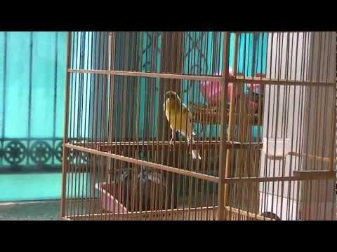 Jual Burung Kenari F1 Di Bandung Harga Murah