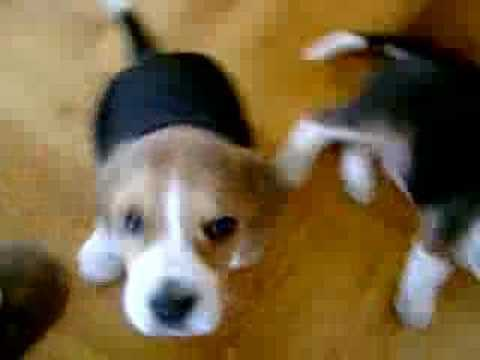 Beagle puppies funny video #1