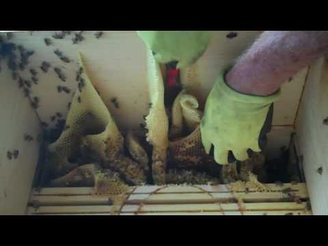 Honey Bees, Beekeeper's Bad Mistake