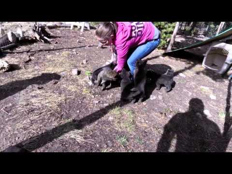 Yamabushi Kennel (山伏犬舎) - Kai Ken (甲斐犬) Nori's second litter at 50 days old