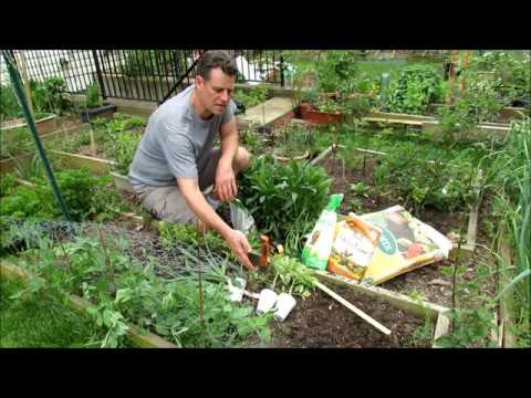 How to Grow Large 1-2+  Pound Tomatoes (1-6): Types, Soil Set Up, Fertilizing, BER and Planting