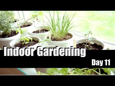 Indoor Gardening Day 11