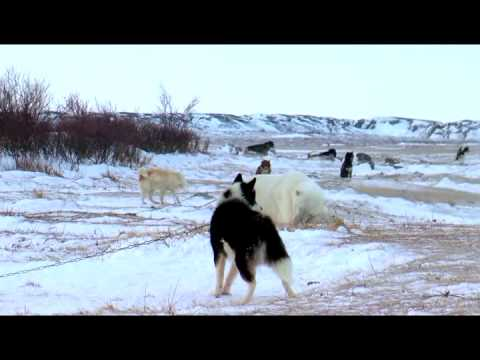 Polar Bears: A Summer Odyssey 2012 documentary movie, default video feature image, click play to watch stream online