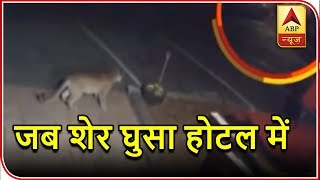 Namaste Bharat: Wandering mountain lion enters hotel in Colorado, US - ABPNEWSTV