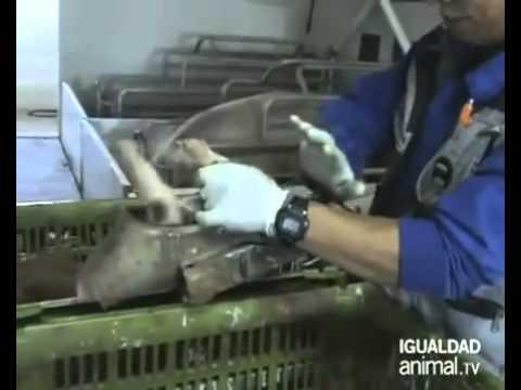 Granjas de cerdos en España.flv