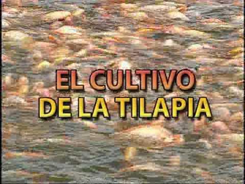 Como criar mojarra tilapia 14 manda un correo a biovimorsa for Mojarra tilapia criadero