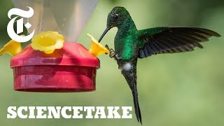 How the Hummingbird Wields Its Snake-Like Tongue | ScienceTake - THENEWYORKTIMES