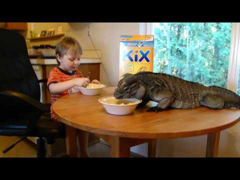 Rhino iguana (Buddy) and Logan eating breakfast
