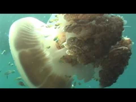 Another Massive Giant Jellyfish - Huge Ocean Oddity