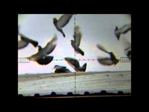 air rifle hunting pigeon 7