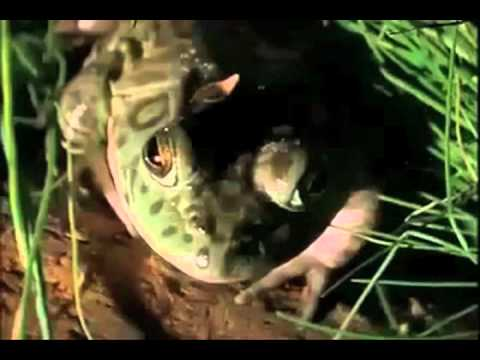Honey Badger Narrates: The Gross and Disgusting American Bullfrog