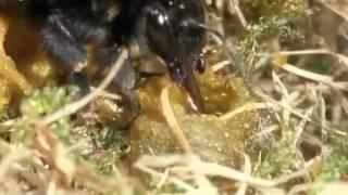 101. Die Biene im Pelz