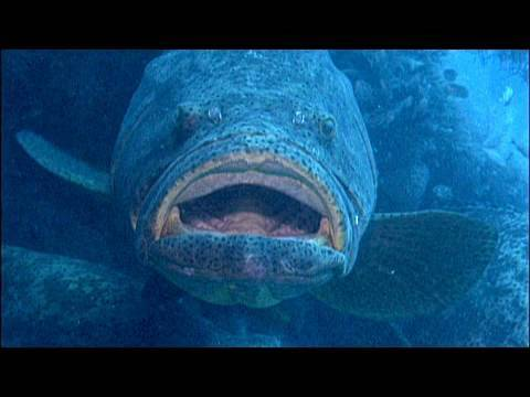 Goliath Groupers on a ship wreck