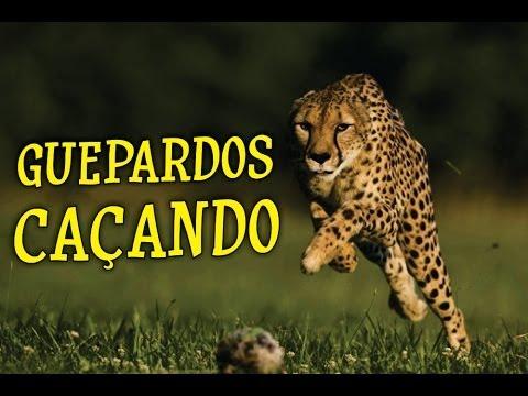 Guepardos caçando - O Fantástico Mundo Animal