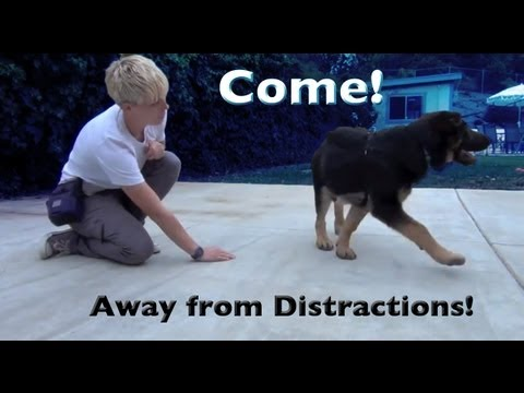 Come when called with distractions- clicker dog training