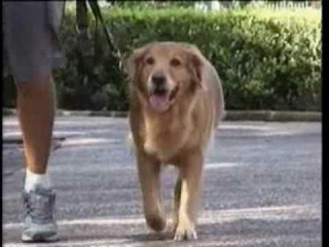 TV JUSTIÇA - Ataque de cães gera indenização em Minas Gerais
