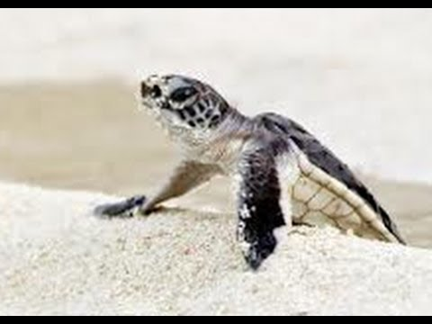 Baby Sea Turtle Crawling to the Ocean (F*** Seagulls)