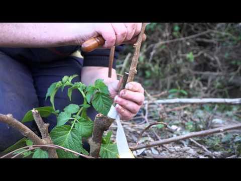 Enxerto de kiwi