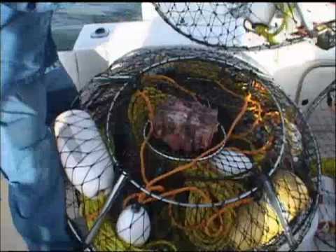 How to bait a hoop net for Lobster fishing.