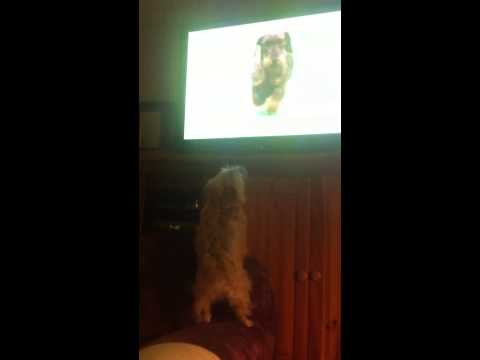 World's Biggest Dog Show Fan!