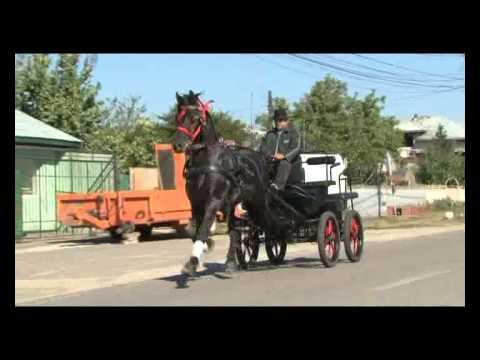 Cai de vazare rasa friesian - Armasar ZORRO  - Sirbu Costel (Comandantul)