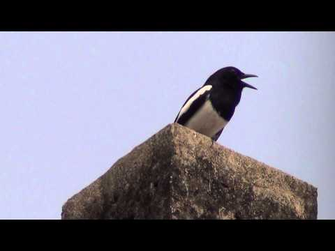 An oriental Magpie Robin known as Doyel Pakhi in Bengali near our house in Kolkata