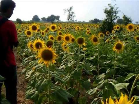 Awesome Sunflower field at Raichur : Tourist Destination