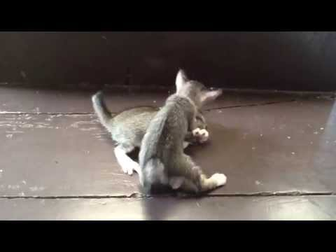 Two Little Kittens Play & Train To Fight, Very Funny