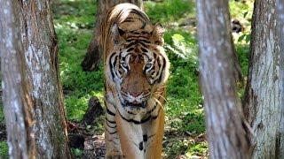 Peruvian circus tiger escapes tragic life - CNN
