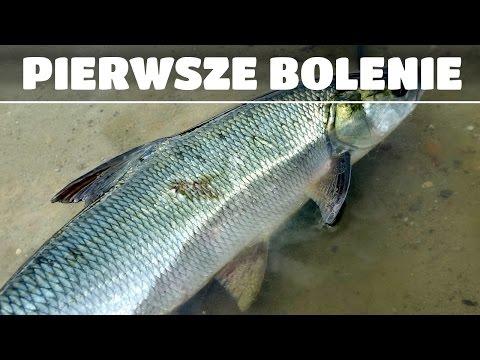 Pierwsze bolenie - Duże przynęty na szczupaki - Cotygodniowa dawka FishingWithAce 5#