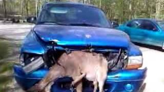 Олень попал под решетку переднего бампера  грузовика