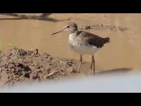 Aves de Venezuela - Aves de Barinas - Playero Solitario - Tringa solitaria