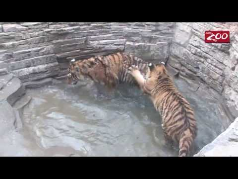 ZOO GETS TIGER 