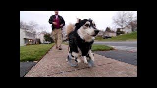 بالفيديو..كلب يتمكن من المشى مرة أخرى بفضل الطباعة ثلاثية الأبعاد