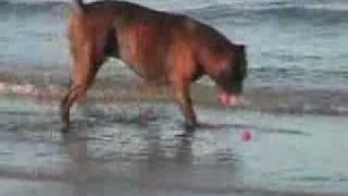 調教しようとする飼い主、ガン無視のボクサー犬に絶叫